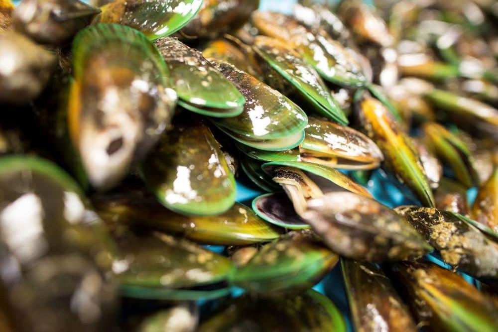 Caption: New Zealand Greenshell Mussels (Perna canaliculus)